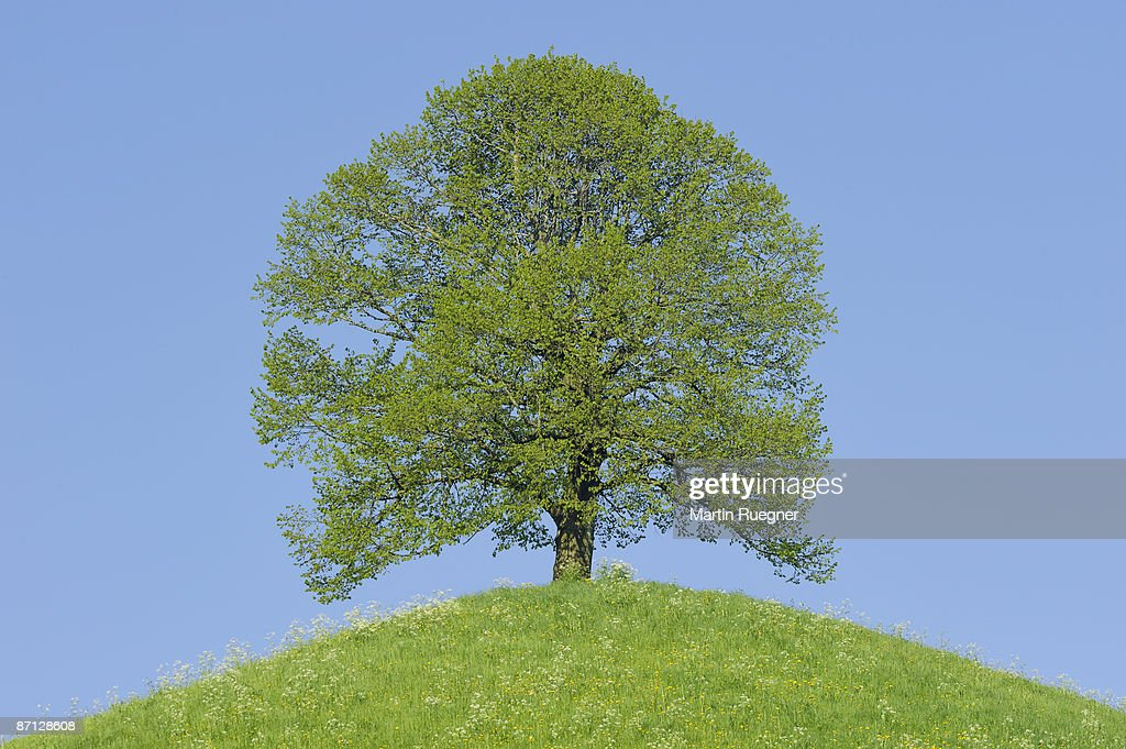 Lime tree (Tilia spec.) at the top of a hill : Stock Photo