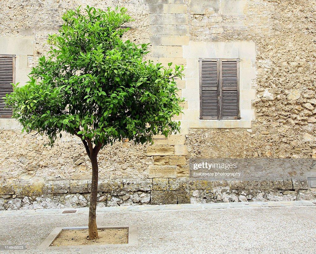 Lime tree growing in mediterranean street
