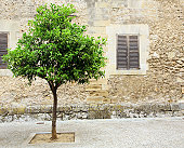 Lime tree growing in mediterranean street