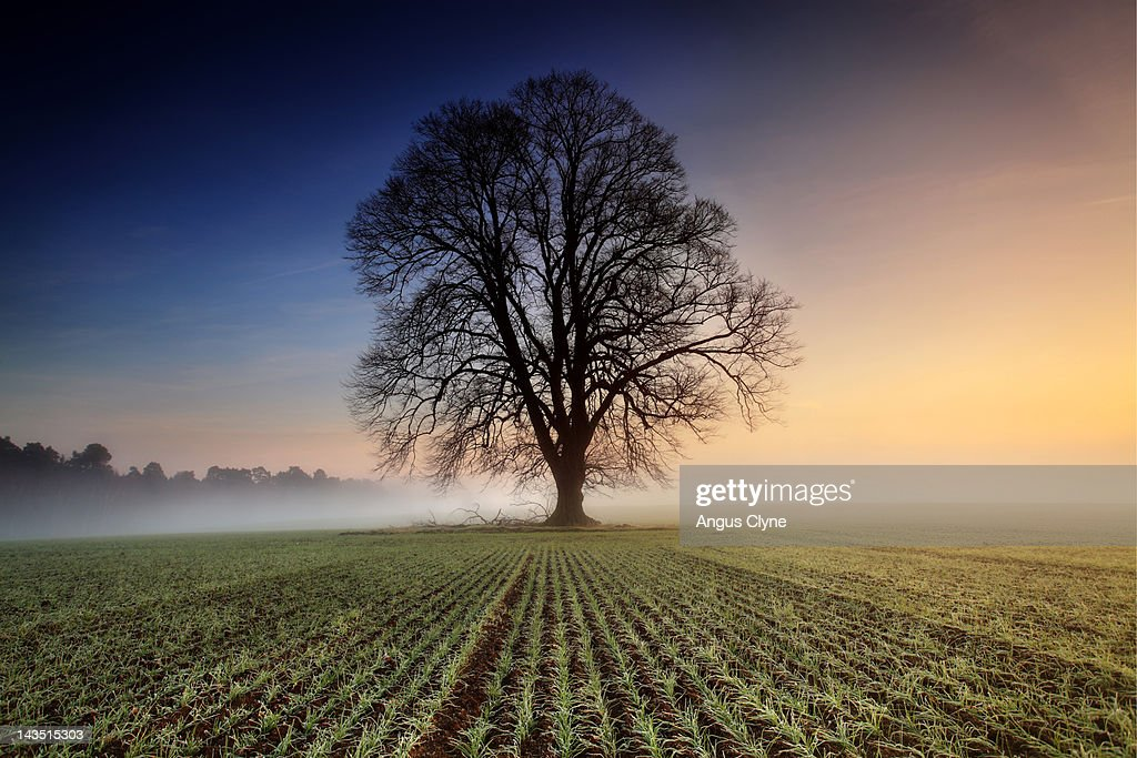 Lime tree in field at dawn : Stock Photo