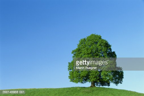 Lime tree (Tilia sp.) in field : Stock Photo