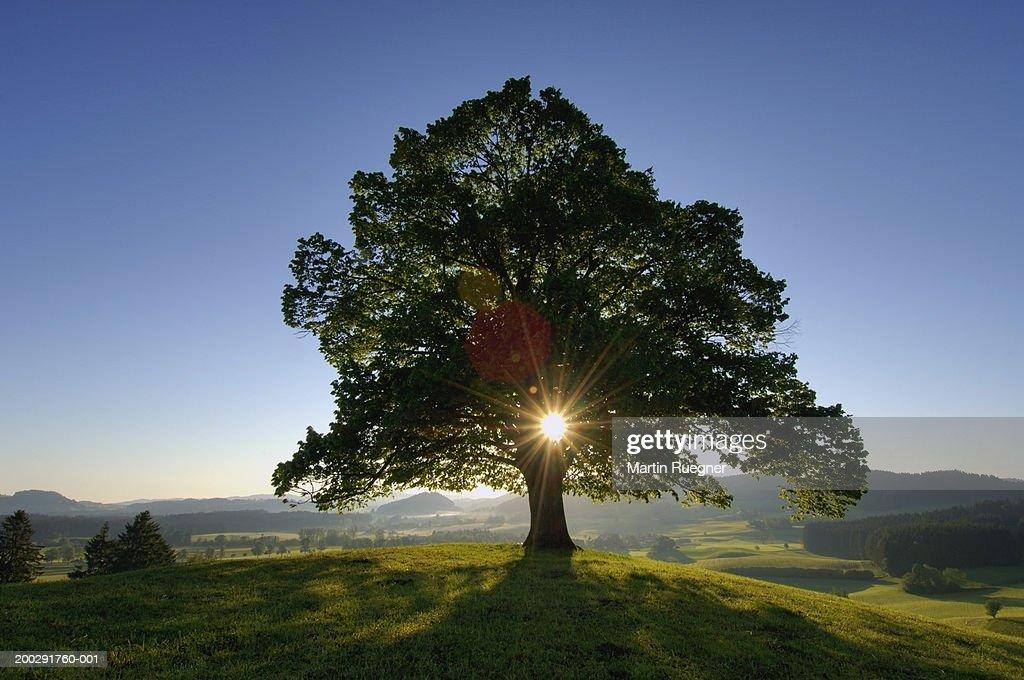 Lime tree (Tilia sp.) in field (sun flare) : Stock Photo