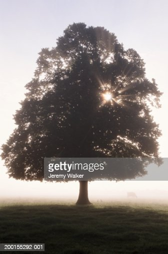 Lime tree (Tilia sp.) in meadow, cow in background, dawn : Stock Photo