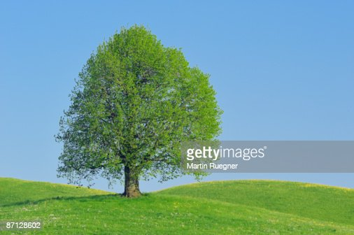 Lime tree (Tilia spec.) in meadows, spring. : Stock Photo