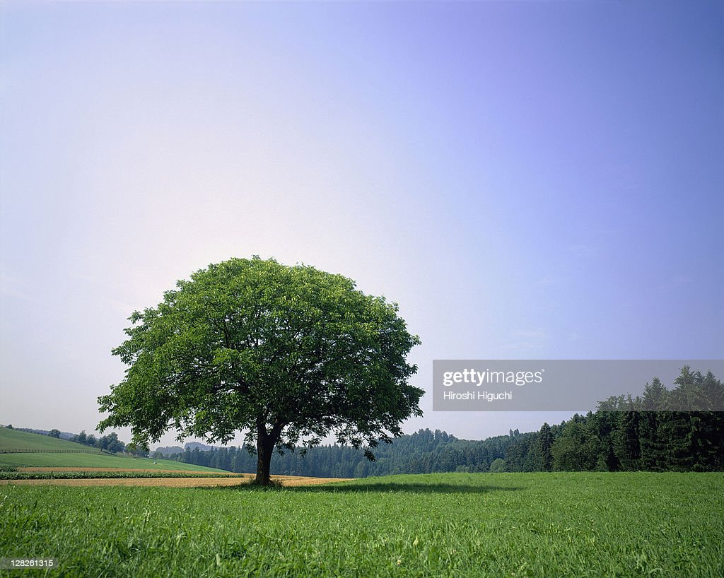 Lime tree in summer landscape, Canton Lucerne, Switzerland : Stock Photo