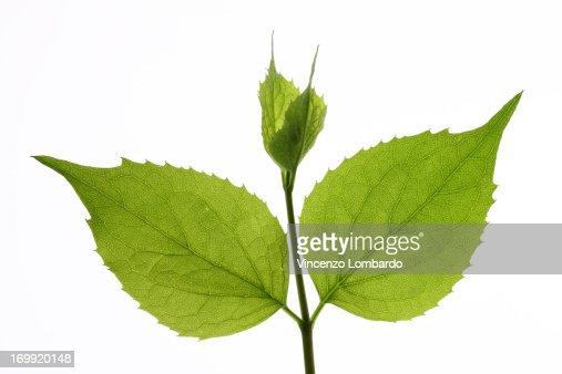 Lime tree (Tilia) leaves, close-up