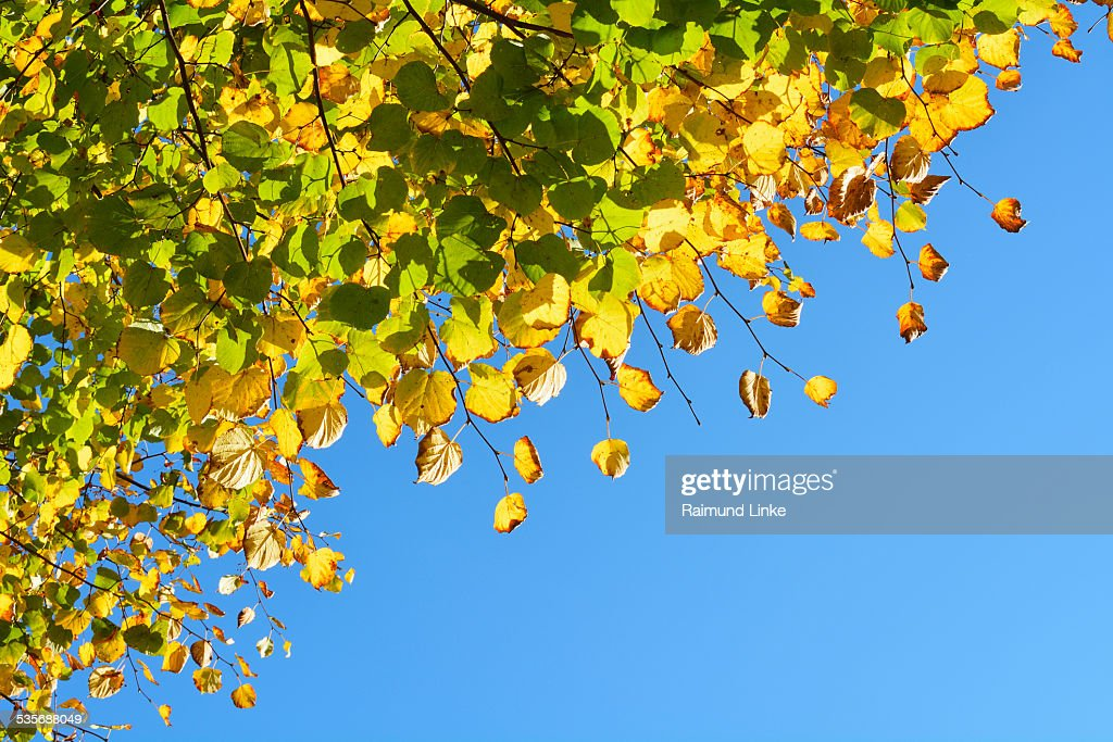 Lime Tree Leaves in Autumn