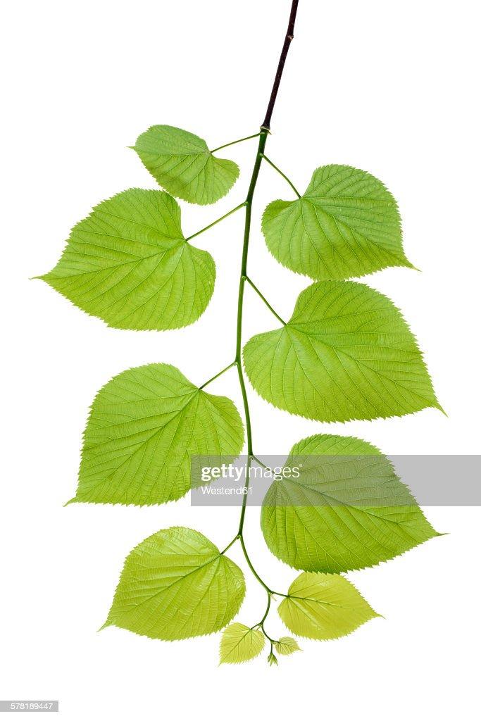 Lime tree leaves