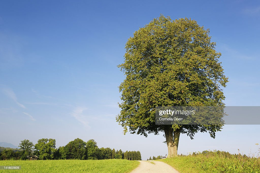 Lime tree next to a path : Stock Photo