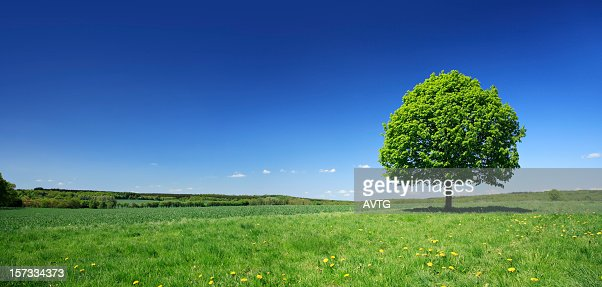 Lime Tree on Dandelion Meadow in fresh colourful spring landscape : Stock Photo