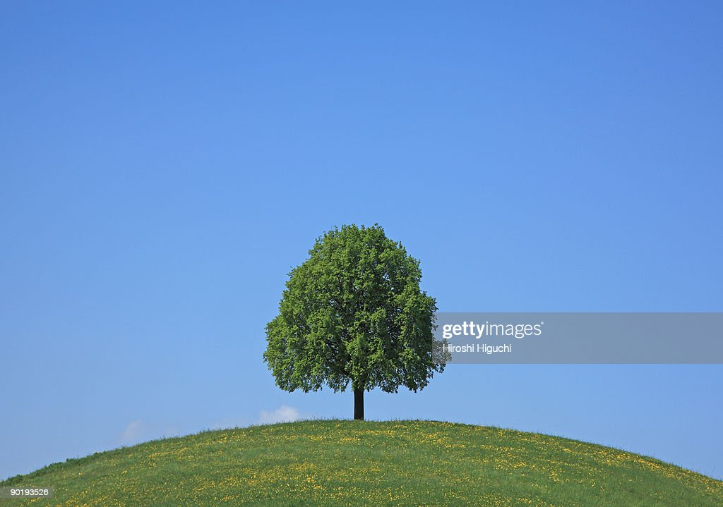Lime tree on field : Stock Photo