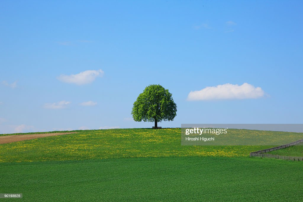 Lime Tree  on fields : Stock Photo
