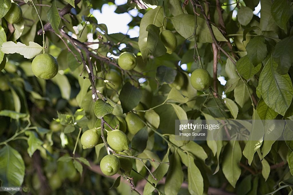 A lime tree : Stock Photo