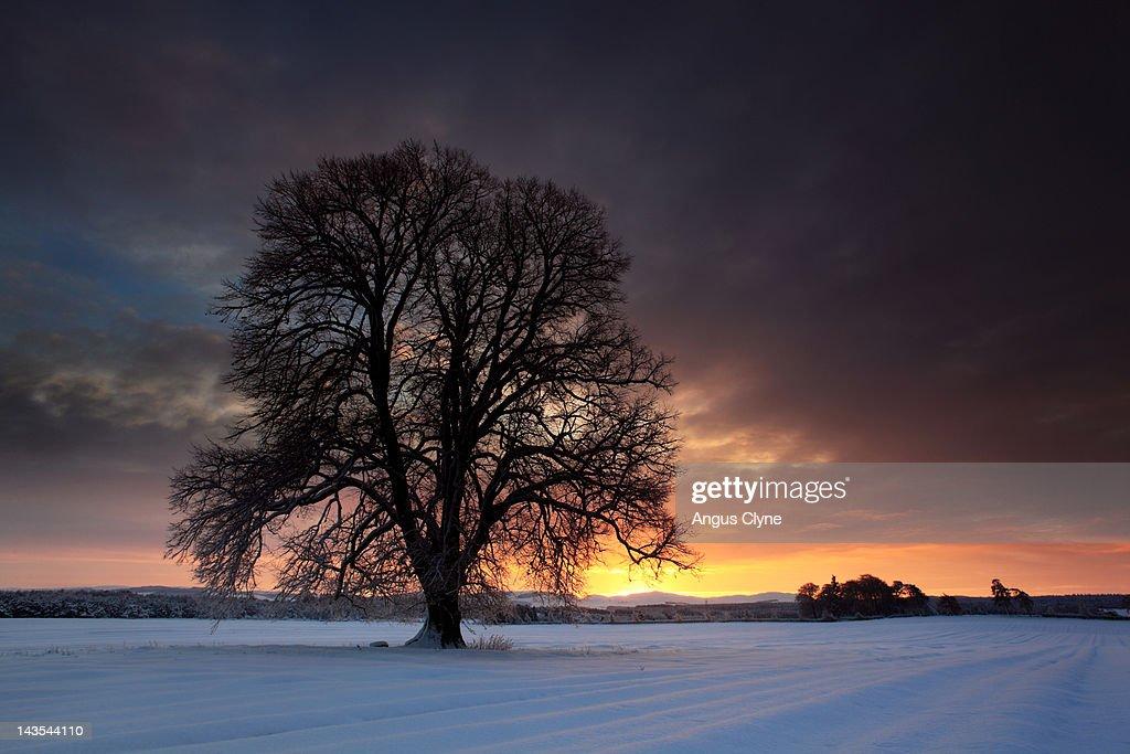 Lime tree snow drift field farm dawn light : Stock Photo