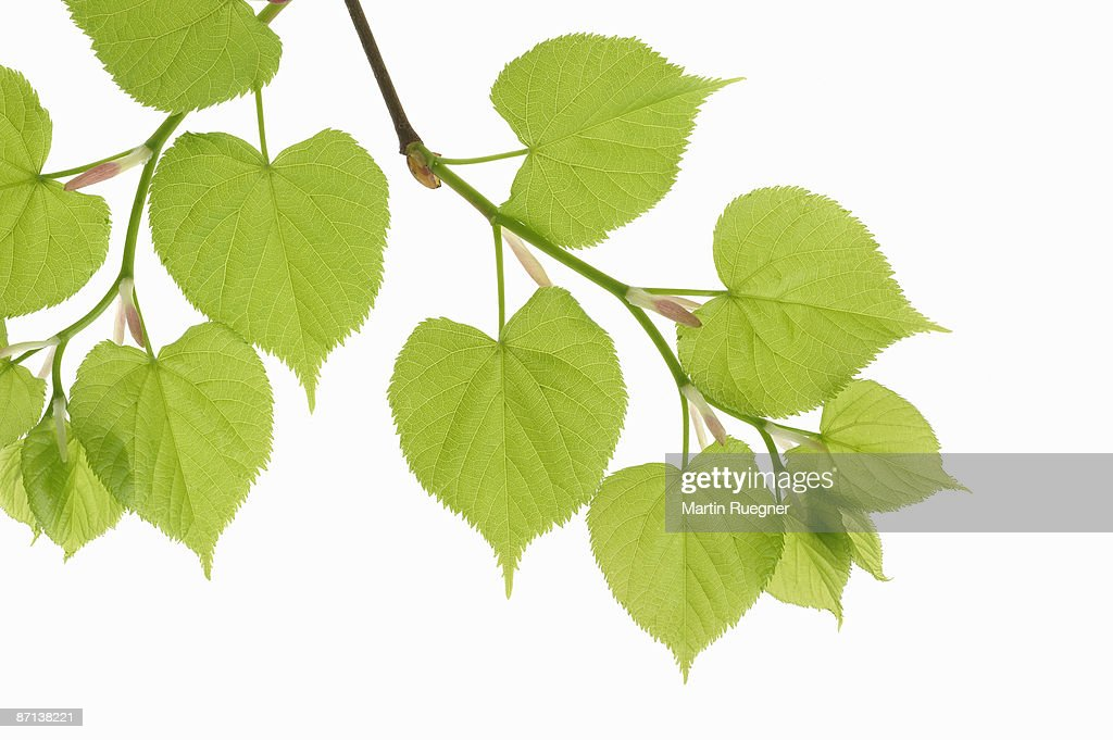 lime tree analysis Essays from bookrags provide great ideas for coleridges imaginative journey: this lime tree bower, my prison essays and paper topics like essay view this student essay about coleridges imaginative journey: this lime tree bower, my prison.