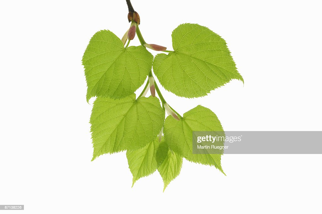 Lime tree Tilia spec. branch with leaves. : Stock Photo