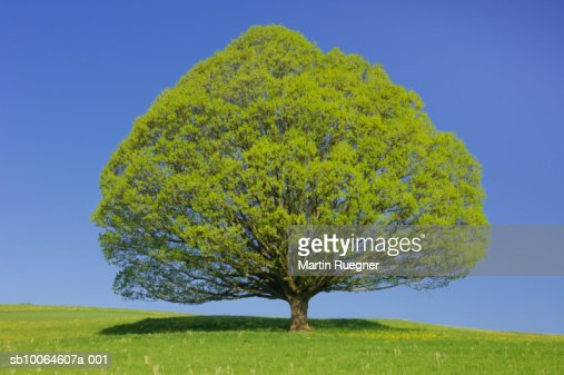 Lime tree with blue sky in spring : Stock Photo