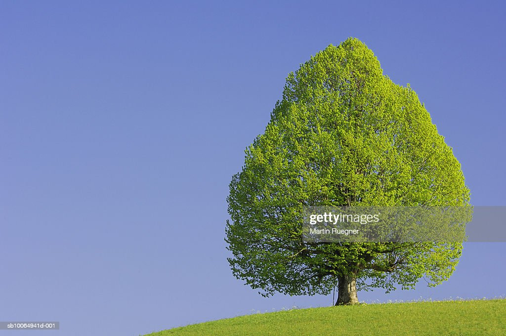 Lime tree (Tilia spec.) with clear blue sky in spring : Stock Photo