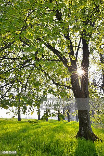 Lime Tree with Sun