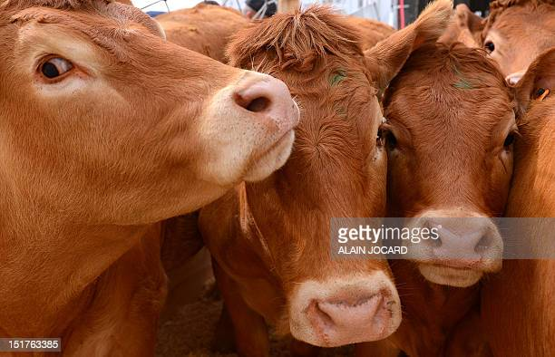 Limousin breed cows are pictured before being loaded onto a plane bound for Mongolia on September 11 2012 at the Marcel Dassault airport in Deols...