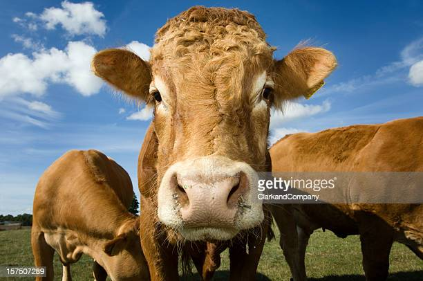 Taureau Limousin