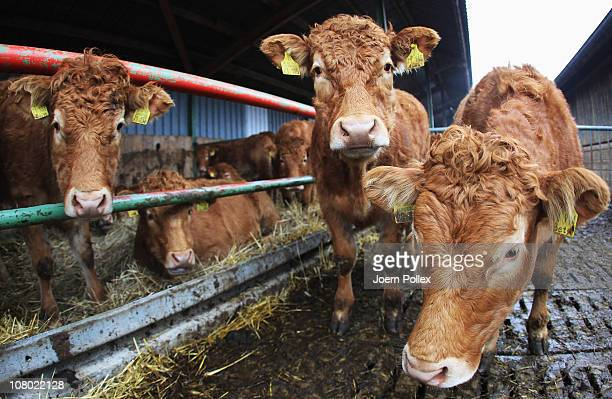 Limousin Cattles are seen at the Ebsen organic farm on January 13 2011 in Langenhorn Germany Organic foods retailers are reporting a surge in demand...