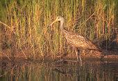 Limpkin (Aramus guarauna) wading in shallow water