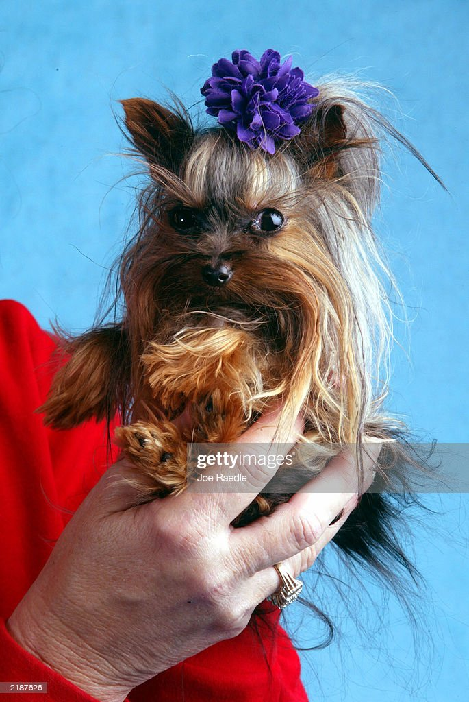 Linda Hopson holds her dog named Tiny Pinocchio June 2, 2003 in St. Petersburg, Florida. Hopson is vying to have her dog named the world's smallest dog. Tiny Pinocchio, a 15-month-old Yorkshire terrier, weighs in at one pound.