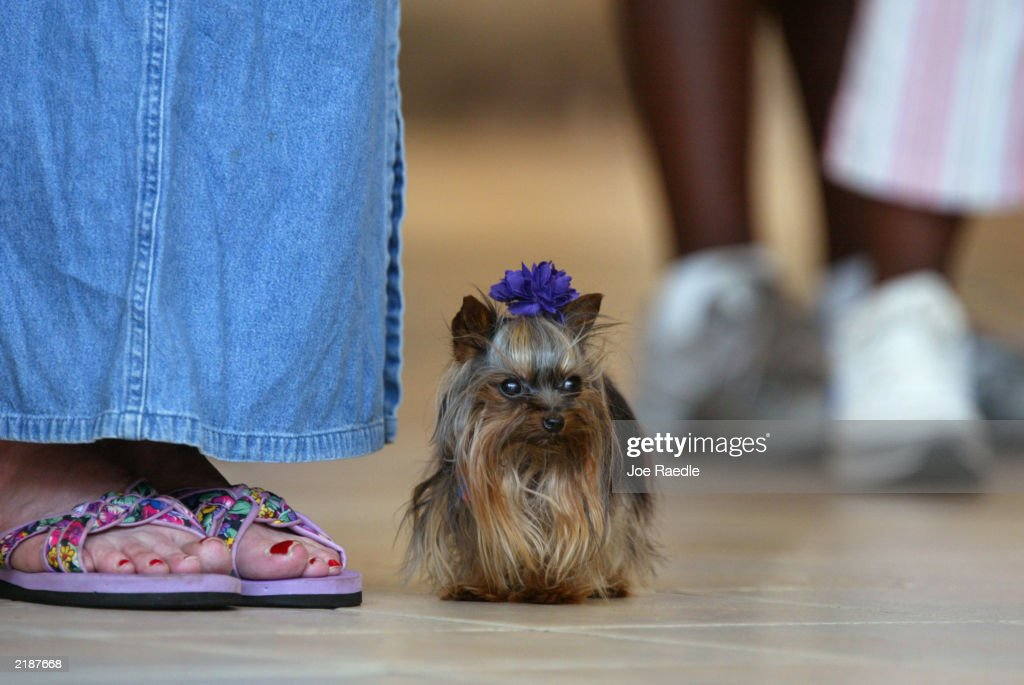 Linda Hopson walks her dog, Tiny Pinocchio, in a mall June 2, 2003 in St. Petersburg, Florida. Hopson is vying to have her dog named the world's smallest dog. Tiny Pinocchio, a 15-month-old Yorkshire terrier, weighs in at one pound.
