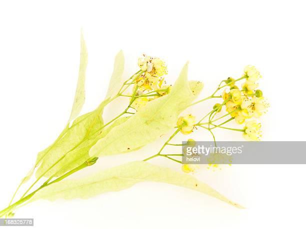 Linden blühen