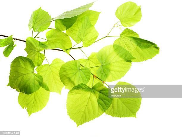 Linden branch on white