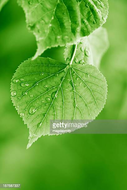 linden leaves with raindrops