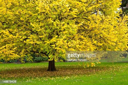 Linden (Tilea cordata) tree in Fitzroy Gardens in autumn. : Stock Photo