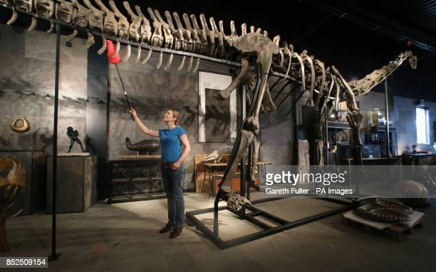 Lindsay Hoadley of Summers Place Auctions in Billingshurst West Sussex tends to 17 metre long specimen of a longnecked Diplodocus Longus which will...