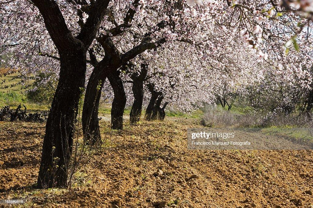 Line of Almond Trees : Stock Photo