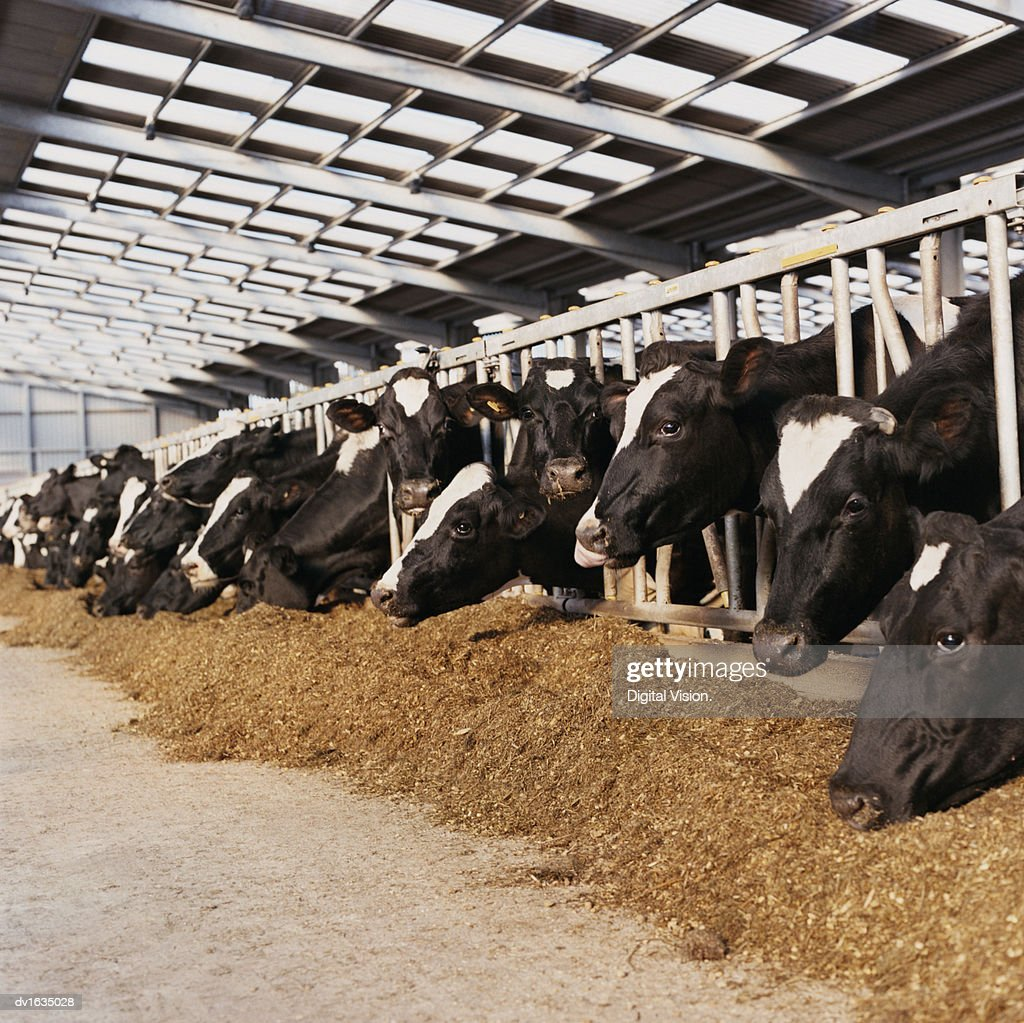 Line of Cow's Heads Trapped Behind Railings in a Barn : Stock Photo