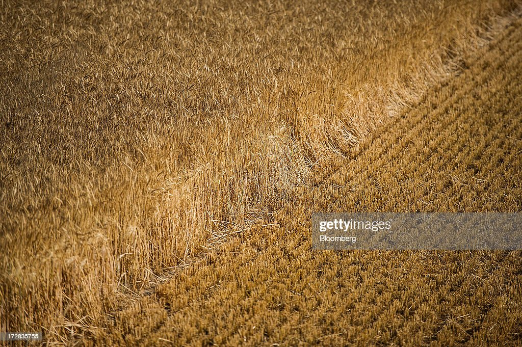A line of cut and uncut barley stands in a field during harvesting in Cervera, Spain, on Thursday, July 4, 2013. Spain consumes about 28 million to 30 million tons of grain a year, of which two-thirds is produced domestically, according to young farmers organization Asaja. Photographer: David Ramos/Bloomberg via Getty Images