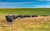 Line of female ostriches on a beautiful South African ranch. Sunny day. Distant mountains and a lone distant tree.