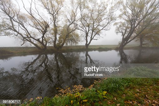 Line of old willow trees reflecting in river