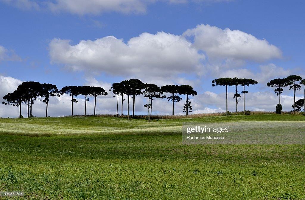 Line of pines : Foto de stock