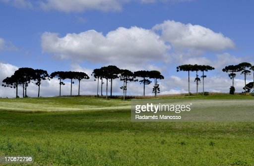 Line of pines : Foto de stock