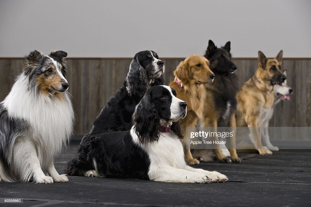 Line of purebred dogs in obedience class