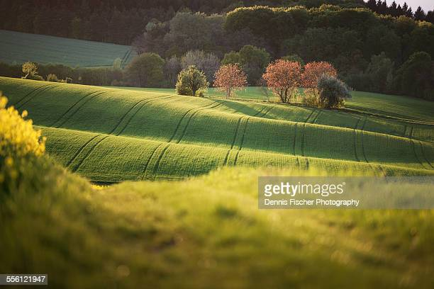 Line of trees on a field