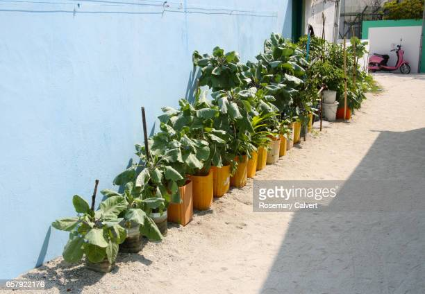 Line of vegetables grown in pots by villagers, Maldives.