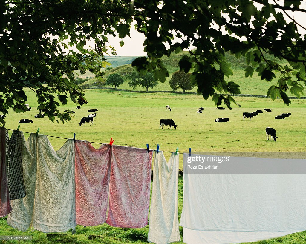 Linens and towels hanging on clothes line, dairy cows in background : Stock Photo