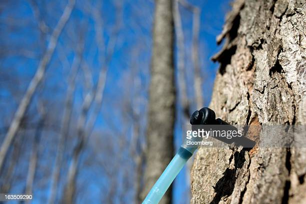 Lines connected to tapped maple trees collect sap into a collection tank at Richards Maple Products in Chardon Ohio on Saturday March 9 2013 Grade A...