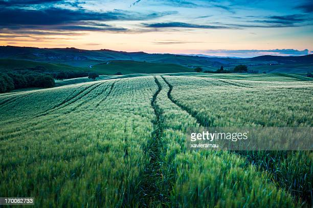 Lines into the wheat field