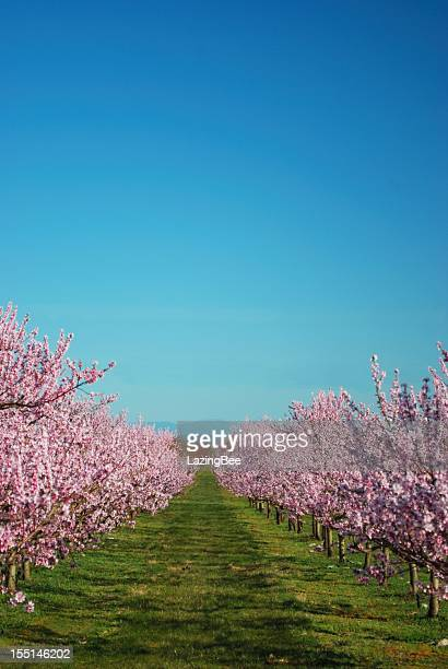 Lines of Peach Trees in Blossom