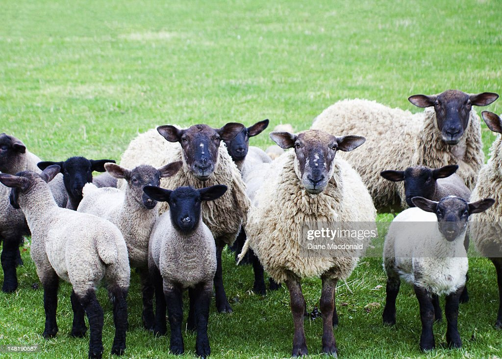 A line-up of black-faced sheep and lambs : Stock Photo