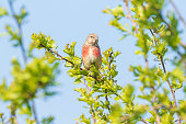 Linnet bird male, Carduelis cannabina singing in Springtime